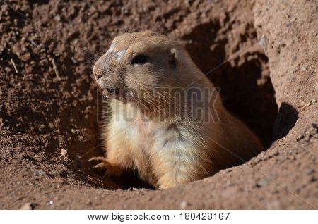 Really cute prairie dog climbing up out of a hole.