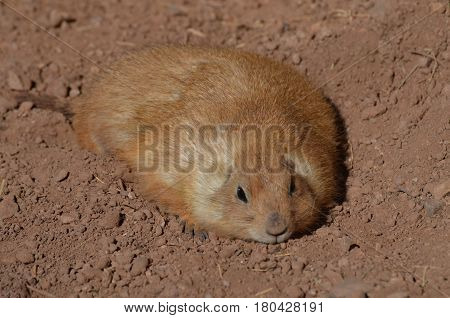 Adorable fat prairie dog resting in a shallow dirt hole.
