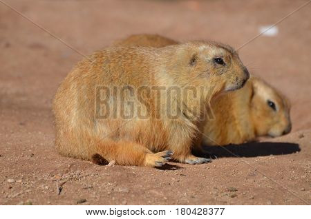 Cute black tailed prairie dog with an adorable friend.
