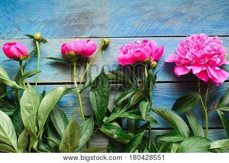 top view of row pink peony flowers with green stalk and leaves lay on a blue board table floristry element for bouquet or decorate celebrate concept