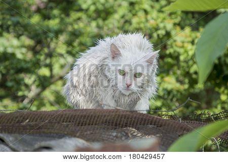 Wet white cat on the street .