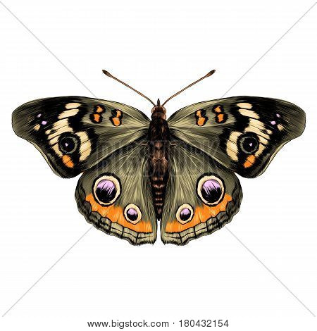 butterfly with open wings top view of symmetry sketch the graph of vector color drawing butterfly with brown wings