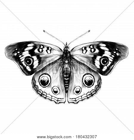 butterfly with open wings top view of symmetry sketch graphics vector black and white drawing