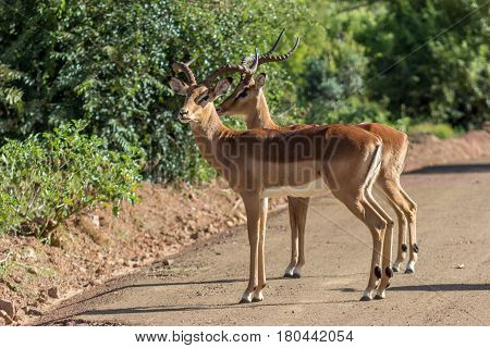 Two male impalas standing on a dirt road in Marakele national park