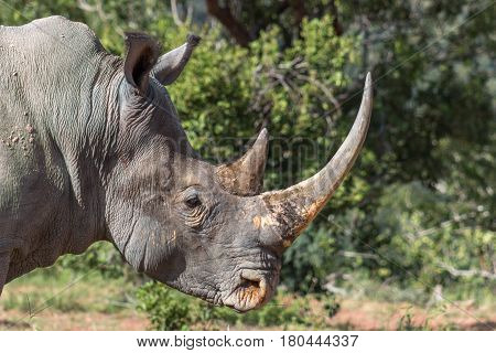 An adult white rhino bull closeup photo