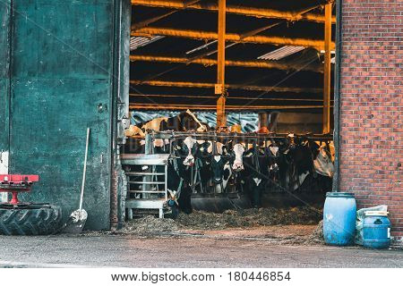 Large group of cows standing in cattle shed.