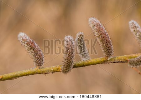 Closeup of rose-gold Pussy Willow (Salix gracilistyla) seedpod on a branch poster