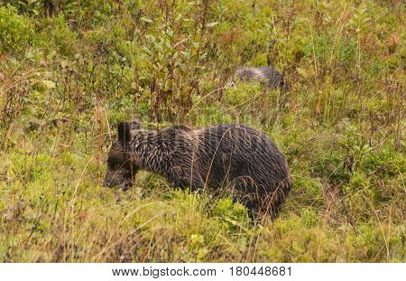 Brown bear in the natural environment in the Western Tatra mountains in Poland