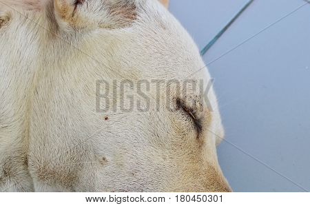 dog tick climbing on dog face while sleeping for sucking blood