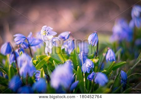 Background of blooming spring flowers Scilla. Scilla armena Grossh. Blue scilla blooming in the garden. The first spring flowers