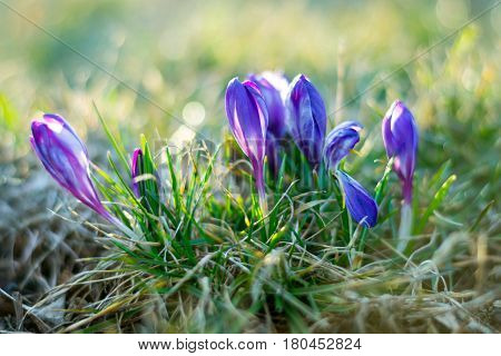 Purple crocuses (crocus sativus) soft focus and diffused bokeh background, The first spring flowers - purple flowers crocus crocuses. Closeup of violet flowers in nature with soft focus. Flower landscape spring mood springtime. The perfect image for sprin