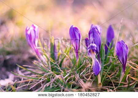 View of magic spring flowers crocus growing in wildlife. Purple crocus growing from old grass. The first spring flowers - purple flowers crocus crocuses. Closeup of violet flowers in nature with soft focus. Flower landscape spring mood springtime.