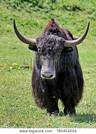 Close-up of a home yak. Bred in Buryatia, Tuva, in the Altai (in these regions they are called sarlyk). Yak differs long shaggy wool. Buryatia, Russia