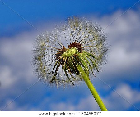 Dandelion closeup on a background the blue sky. Dandelion fluff. Low DOF photography.