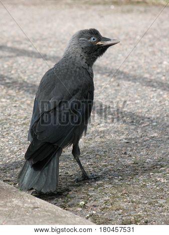 A fledgling western jackdaw on a street