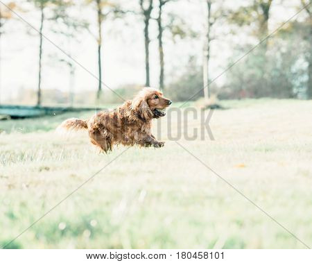 Ginger Cocker Spaniel Running In Field With Tennis-ball In Mouth.