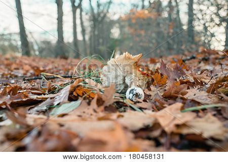 Broken Mushroom Lying Down In Autumn Leaves. Frog Perspective.