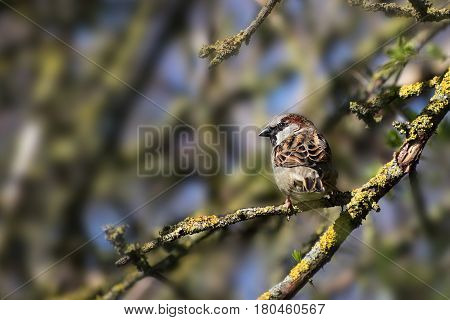 House sparrow male (Passer domesticus) small bird of the family Passeridae sitting on a branch in a tree copy space