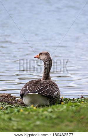 Greylag goose (Anser anser) a large water bird sitting in the grass at the lake shore generous copy space vertical