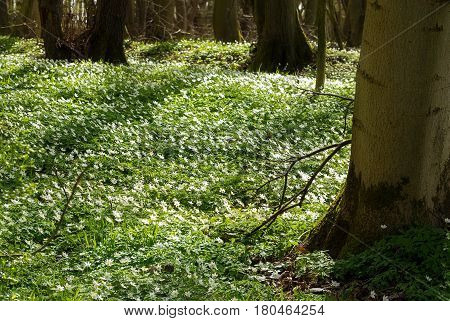 Forest ground covered with white blooming wood anemone flowers in early spring copy space selected focus