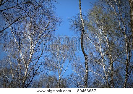 Birch trees grove on the clear blue sky background