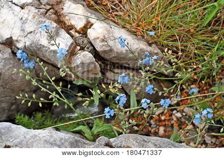 Forget-Me-Not Blue Flowers In Spring (Close up)
