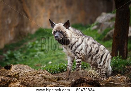 Striped hyena (Hyaena hyaena sultana). Hyena on the guard.