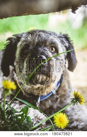 Small dog close up. Mixed breed dog head shot. Dog in nature