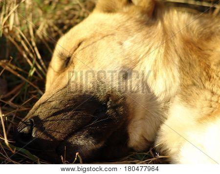 Head of a sleeping stray dog closeup