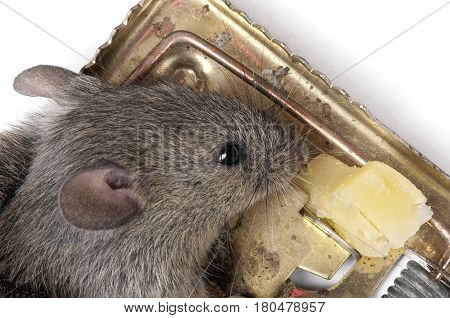 mouse in a mousetrap with cheese, closeup