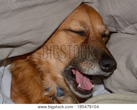 Mixed breed brown dog yawning after nap under the covers