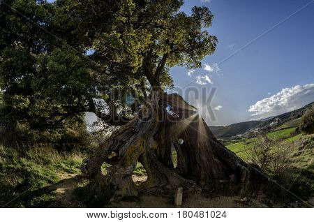 Impressive oak in the Navarrese town of Eraul, they say that one day lightning struck him and he stayed, but he did not die. The trunk is very twisted as you see in the photos and is approximately 1.30 m. diameter.