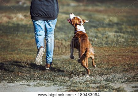 A young dog of the breed American Staffordshire Terrier run alongside a man and looks into the eyes. Education saboki, contact, training in the air.