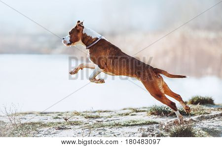 A beautiful white-brown male dog breed American Staffordshire terrier runs and jumps against the background of the water. Beautiful young puppy jumping and frolicking on a light background