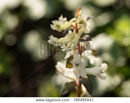 white blooming corydalis in spring and blurry background