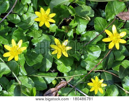 Lesser Celandine flowers in forest of Mclean USA March 21 2017