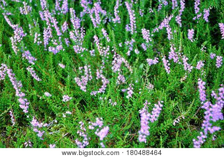 Heather flower in forest, natural image photo