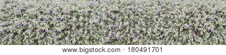 Silvery leaves and blue flowers shrubby germander hedge wide horizontal background