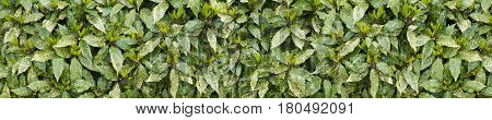 Spotted laurel bush hedge with new growth long horizontal background