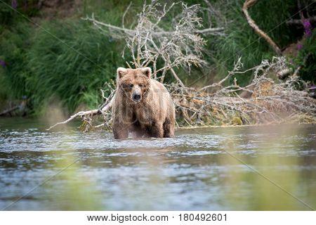 Alaskan Brown Bear In River