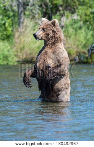 Alaskan Brown Bear Standing