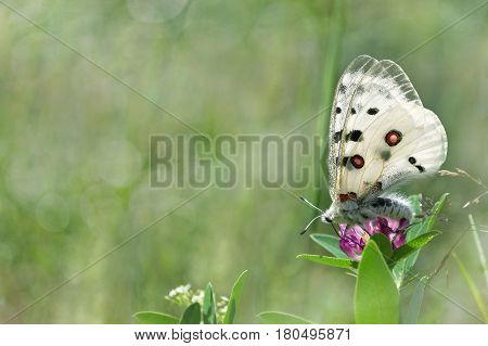 Summer natural background with butterfly on the clover flower