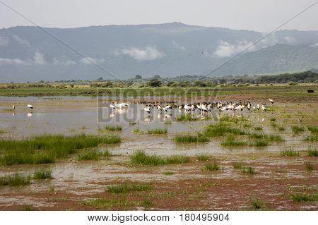 Yellow Billed Storks And Egyptian Geese In Wetlands, Lake Manyara, Tanzania