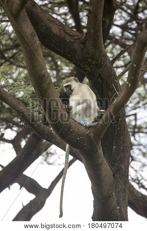Blue Ball Monkey In Tree, Lake Manyara, Tanzania