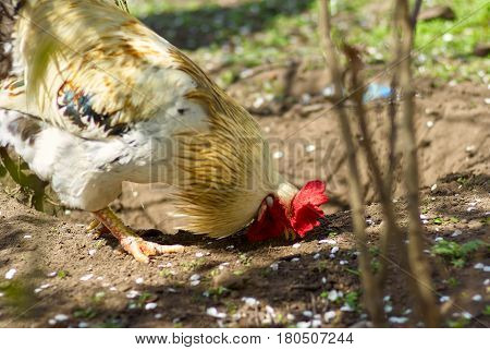 Cock feed on traditional free range poultry farm. A rooster in a farmyard, Livestock, Rural life.