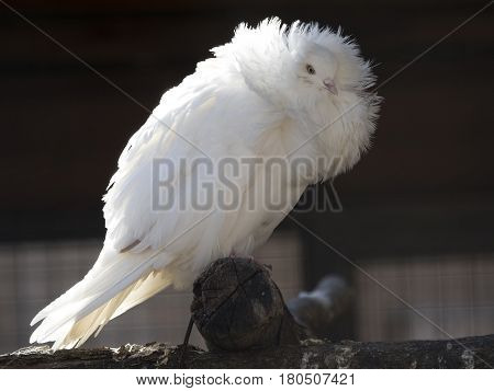 Jacobean pigeon is one of the oldest breeds