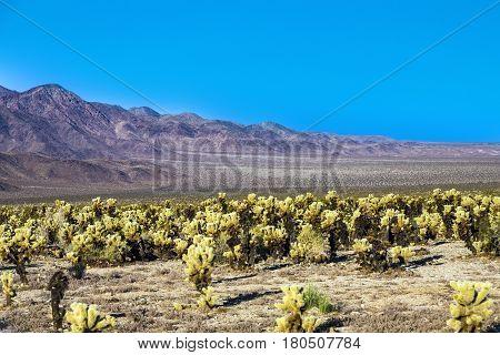 Beautiful Cholla Cactus Garden In Joshua Treer National Park