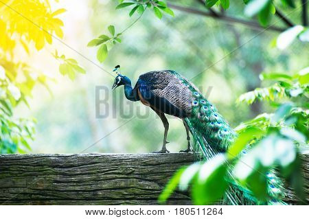 Beautiful Indian peafowl - Pavo cristatus - male (peacock) walking on the roof. Vibrant colors. Beauty in nature. Colored bird. Head with crown-3