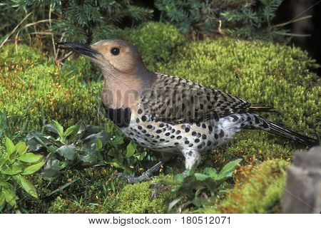 A Northern Flicker on moss at the forest edge