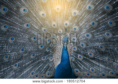 Beautiful Indian peafowl - Pavo cristatus - male (peacock) walking on the roof. Vibrant colors. Beauty in nature. Colored bird. Head with crown.